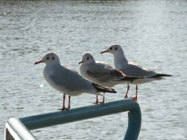 Three gulls by irrlicht71