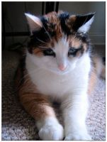 Calico Kitty 2 by Variety-Stock