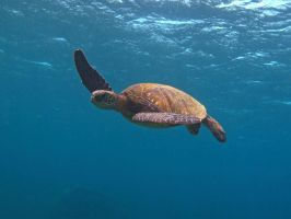 Hovering Honu by X5-442