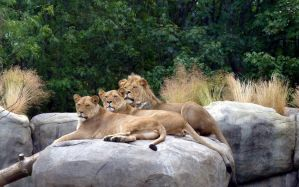 lounging lions by Beausoliel