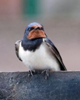 Cromarty swallow by piglet365