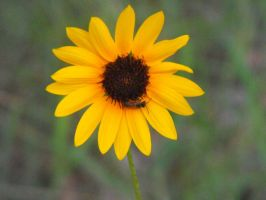 Sunflower and Bee 2 by my-dog-corky