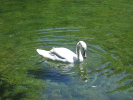 cygnet in cold water by HappyEugene