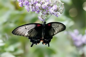 Butterfly 28 by andras120