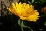 A little ray of sunshine by yvelyn