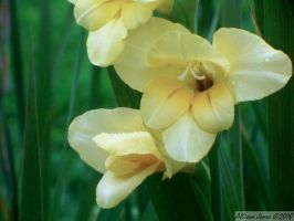 Gladiolus 2. by TheZoMbieMoshPiT