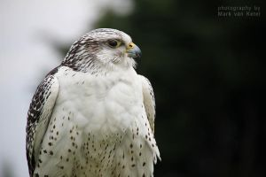 Falco Rusticolus II by blizzard2006