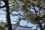 Cherry Flower by MaximussRi