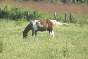 paint gelding 2 by JuneButterfly-stock