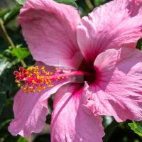 Pink Hibiscus Flower Square by photographybypixie