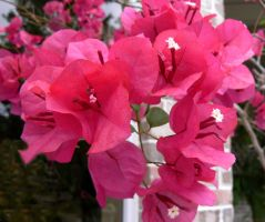 The Bougainvillea Flower by WrongSideofYourBed