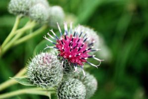 Thistle in bloom by FantasyWordful