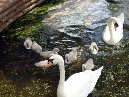 stock 34: swans by whet