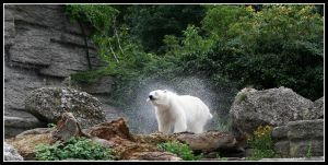 Drying off polar bear by AF--Photography