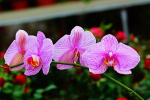Orchid flowers 27 by a6-k