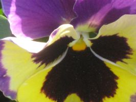 21515 just another pansy by crazygardener