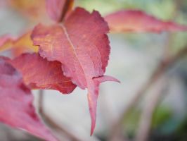 Pretty red leaves. by asaluiphotography