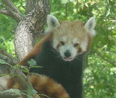 The Adorable Red Panda by maharetkitty