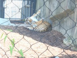 tigers sleeping by Endeavor4ever