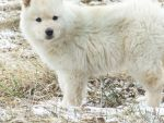 wolf cub or polar bear cub by chyanneypoo
