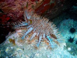 Honeymoon III: Acanthaster by lordyoruno