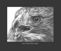Red- Tailed Hawk Study by denismayerjr