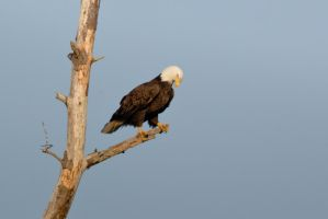 Perched Eagle by bovey-photo