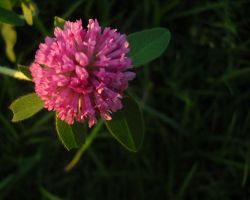 Trifolium pratense by Mythic-Fox