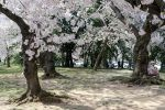 Cherry Blossom Festival 27 by FairieGoodMother