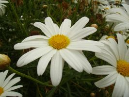 marguerites01.stock by wet-ground-stock