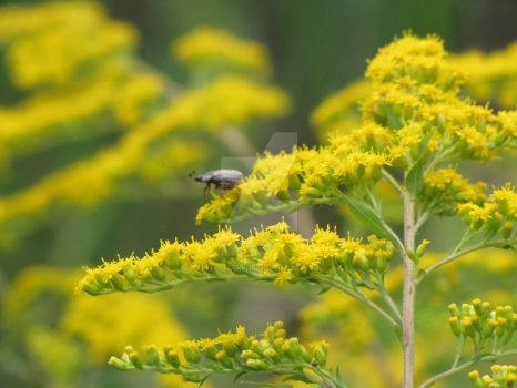 Beetle on Goldenrod by craftywench-nh