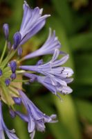 Purple Agapanthus by HyperCaz