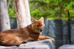 Dhole (Asian Wild Dog) by Turrdle