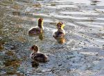 Three baby coots by Desertdarlene