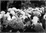 Summer bushes - BW by czeva