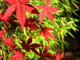Japanese Maple 15 by crazygardener