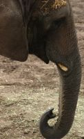 Hogle Zoo - Elephant Trunk by LycanDID