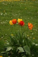 tulips on the meadow stock by Nexu4