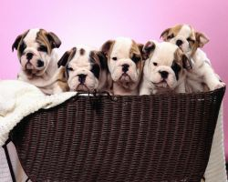 Bulldogs in Basket by Sabrina7777