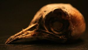 Bird Skull 01 by Aleuranthropy