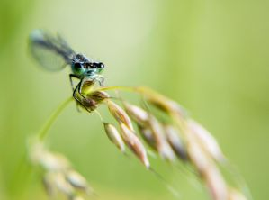 dragonfly on the spike by fot-ciosek