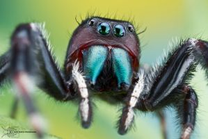 Jumping Spider - Phidippus clarus by ColinHuttonPhoto