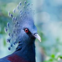 Victoria Crowned Pigeon by SarahharaS1