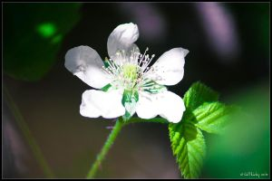 Raspberry Flower by lil-Mickey