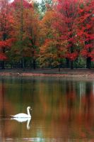 Swan by GallamorePhotography