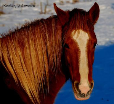 Horse in snow 1 by caro-07