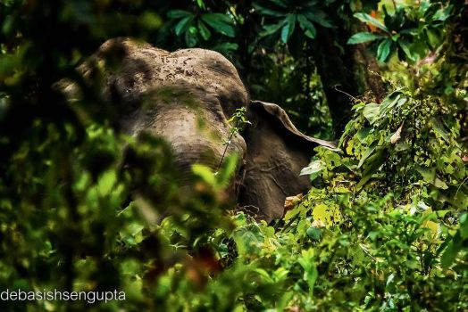 Indian Elephant by DebasishPhotos