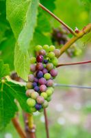 Grapes Stock IV by Moonchilde-Stock