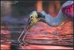 The Color of Spoonbills by juddpatterson