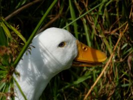 The White Duck by AtomicBrownie